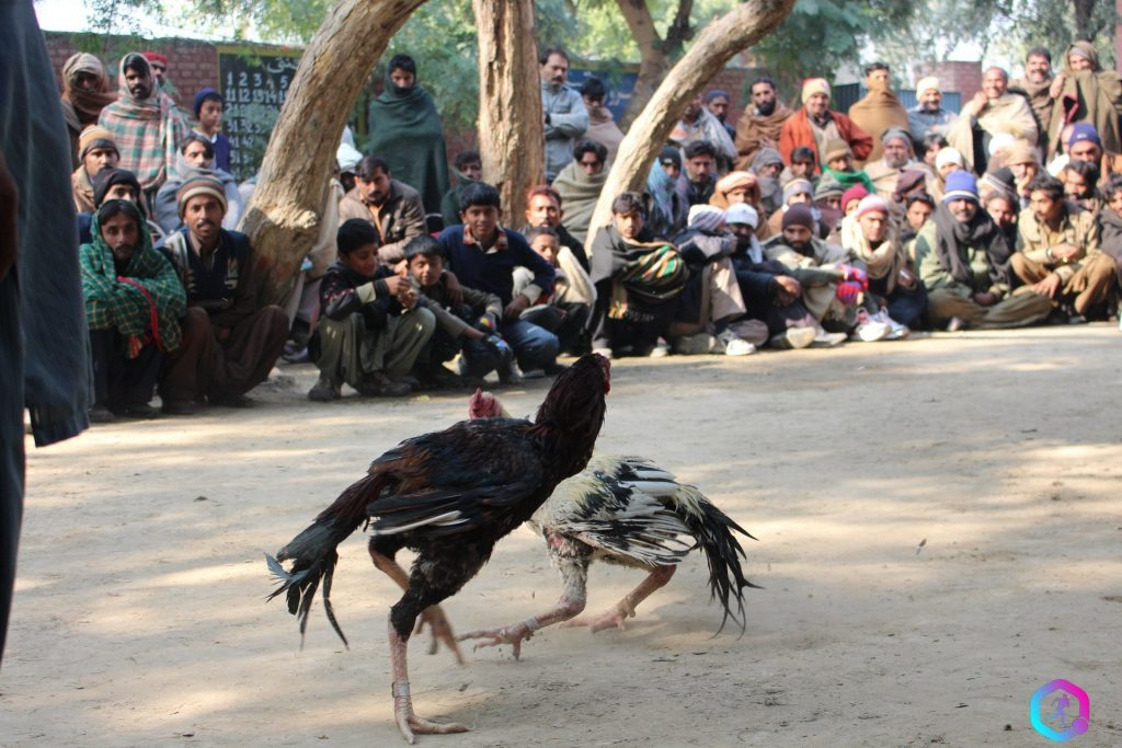 Roosters-fight-in-South-Punjab-as-crowd-watches-on