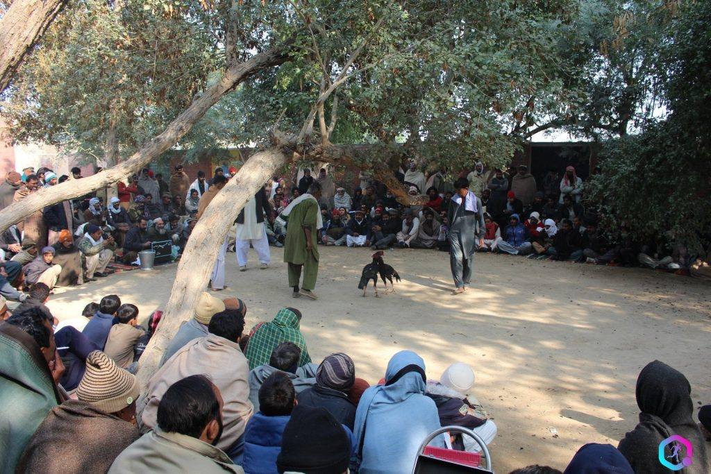 Cock-fighting-in-South-Punjab-as-audience-watches