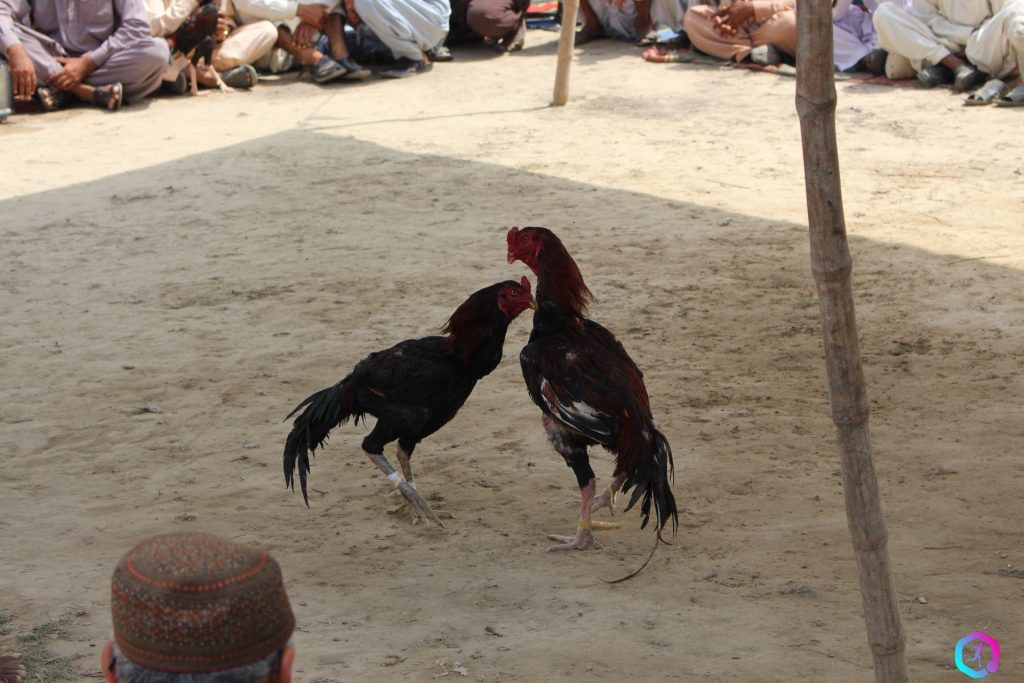 Roosters-fighting-in-South-Punjab